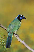 Green Jay, Cyanocorax yncas, adult, Willacy County, Rio Grande Valley, Texas, USA
