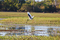 Black-Necked Stork w fish, Yellow Water, Kakadu NP, NT, Australia