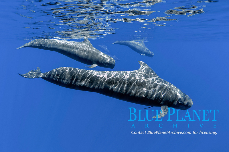 USA, Hawaii, Big Island, Short-finned pilot whales (Globicephala macrorhynchus) off of the Kona Coast, not cookiecutter shark bite wound