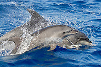 Common Bottlenose Dolphin, Tursiops truncatus, calf with mother in background, south of Pico Island, Azores, Atlantic Ocean