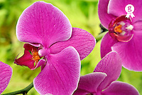Purple Orchids, close-up (Licence this image exclusively with Getty: http://www.gettyimages.com/detail/94466890 )