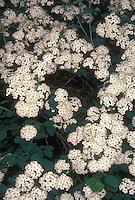 Spiraea x vanhouttei in spring flower
