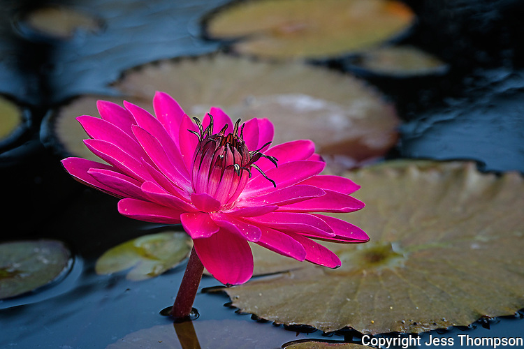 Water Lily, International Waterlily Gardens, San Angelo, TX