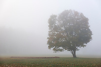 Soft morning mist enshrouds a loneautumn tree, New York, USA