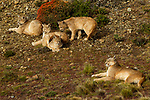 Mountain Lion (Puma concolor) mother and six month old kittens, Torres del Paine National Park, Patagonia, Chile