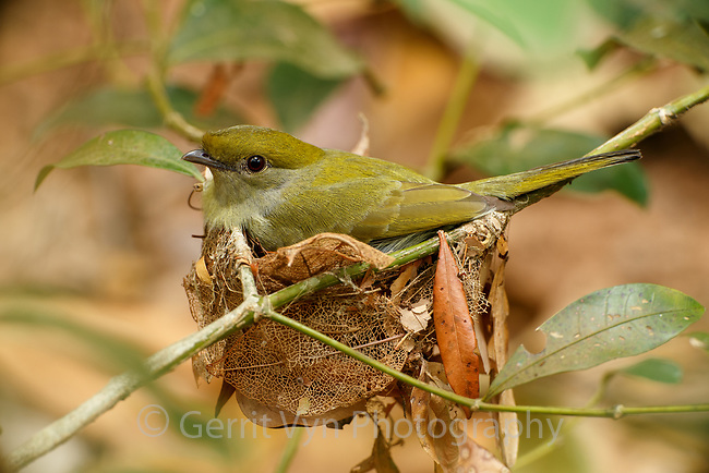 The female Araripe Manakin camouflages the nest with decaying leaves hung with spider web. Ceará, Brazil.