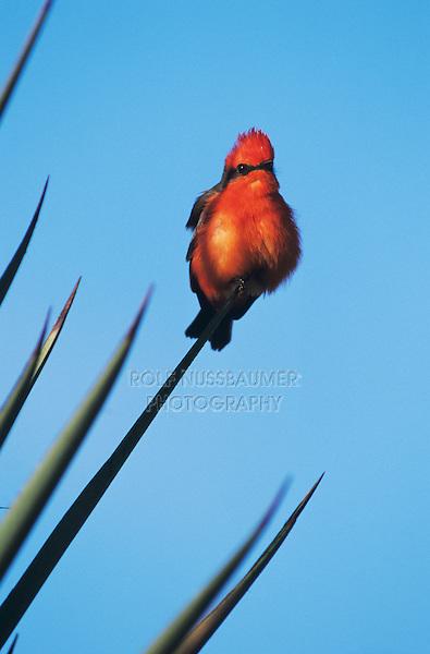 Vermillion Flycatcher, Pyrocephalus rubinus,male on Trecul Yucca (Yucca treculeana), The Inn at Chachalaca Bend, Cameron County, Rio Grande Valley, Texas, USA, December 2001