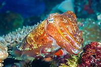 broadclub cuttlefish, Sepia latimanus, Nggela Islands, or Florida Islands, Solomon Islands, Pacific Ocean