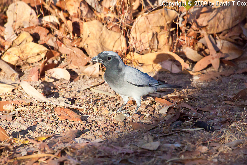 Black-Faced Cuckoo-Shrike, near Yellow Water, Kakadu NP, NT, Australia