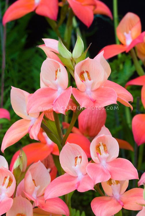 36300,  Disa orchid hybrid Unidioroso 'Peach' (Disa uniflora x Diorosa) 1896