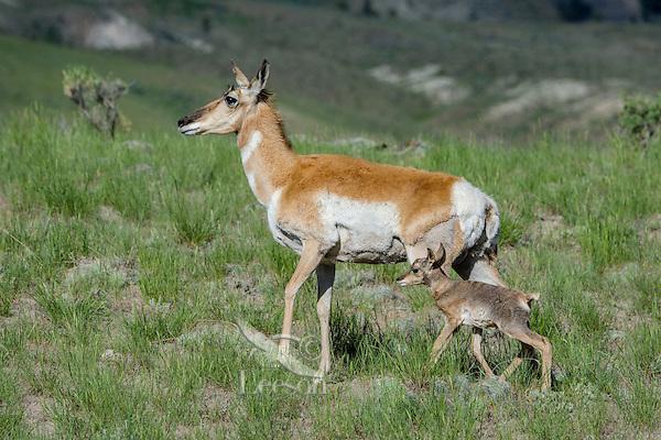 Pronghorn Antelope (Antiloapra americana) doe with young fawn.  Western U.S., June.