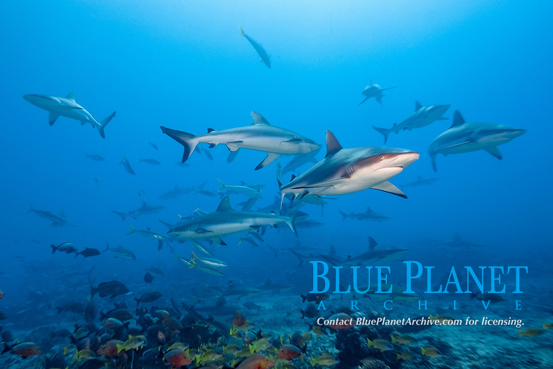 grey reef shark, Carcharhinus amblyrhynchos, Tahiti, French Polynesia, South Pacific Ocean
