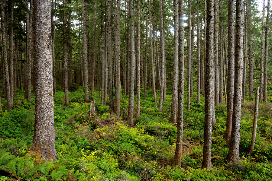 Old growth coastal forest on Washington Coast, Scotts Bluff, Olympic National Park, Washington, USA