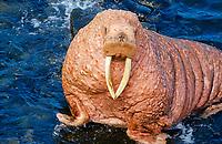 Pacific walrus, Odobenus rosmarus divergens, portrait, Bering Sea, Alaska, USA, Pacific Ocean
