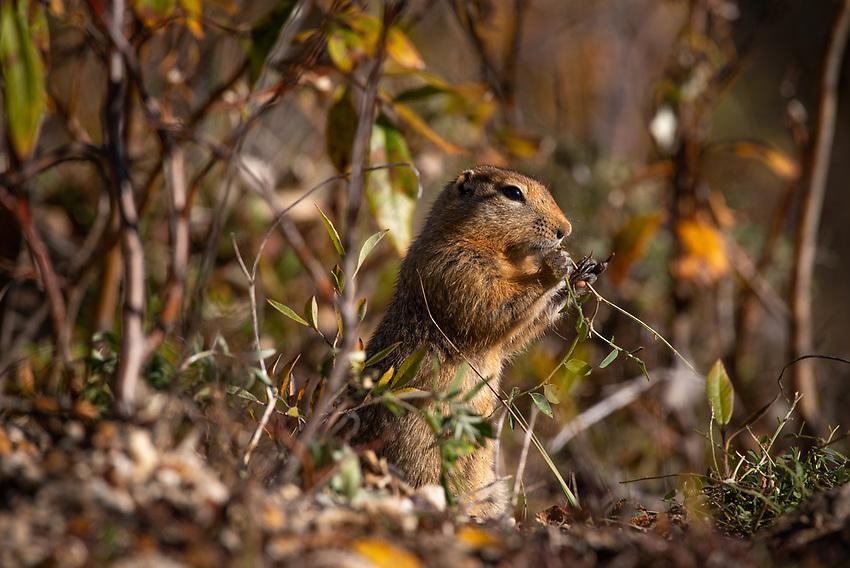 Parka Squirrel, Rambler Mine, Nabesna Road, Alaska.
