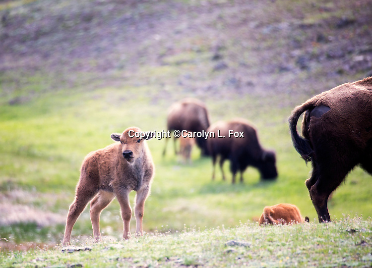 A bison calf stands on a hill in Yellowstone.
