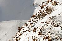 Rothirsch - Red Deer Stag - Cervus Elaphus
