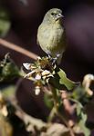 A female lesser goldfinch eats sunflower seeds in Gardnerville, Nev., on Thursday, Oct. 22, 2020. <br /> Photo by Cathleen Allison