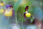 Lady's slipper orchids (Cypripedium calceolus) in flower in spring in woodland. Nordtirol, Austrian Alps. June.