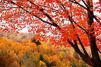 The pumpkin-orange leaves of a maple tree in autumn near Banner Elk, North Carolina.