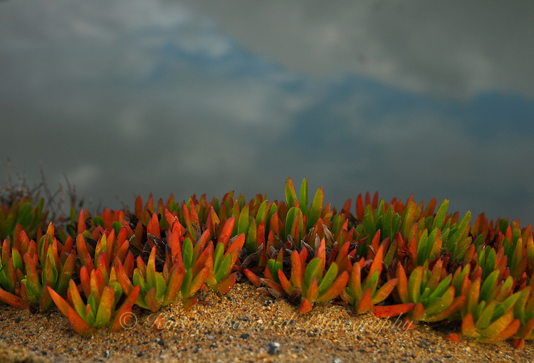 """""""TERRARIUM""""<br /> <br /> Dune flora forma a beautiful and colorful bouquet on the sand dunes in a Pt. Reyes national Seashore"""