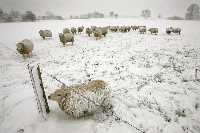 Doesburg, 090207<br /> Veel sneeuwval in Nederland<br /> Dankzij hun dikke vacht hebben de schapen van de familie Wiltink er geen last van.  (Parallelweg 8 Doesburg)