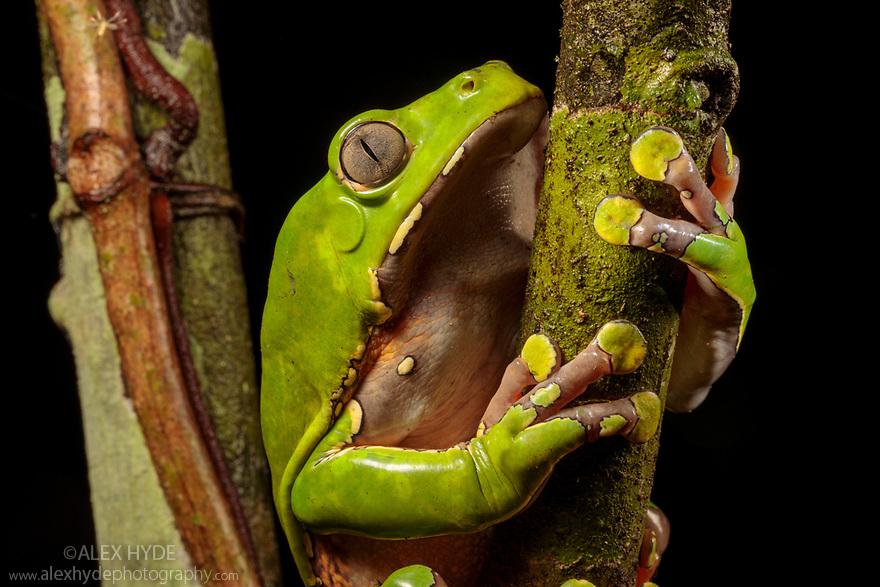 Giant Waxy Monkey Frog (Phyllomedusa bicolor). Lowland Amazon rainforest, Manu Biosphere Reserve, Peru.