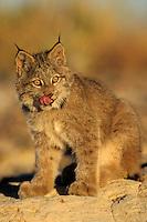 Canadian Lynx kitten (Lynx canadensis)