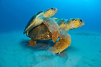 Mating Loggerhead Sea Turtles (Caretta caretta) offshore Palm Beach, Florida, USA, Atlantic Ocean Florida is home to half the world's population of Loggerheads, and Palm Beach County a major nesting area.