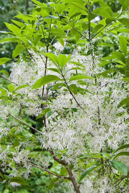 White Fringe Tree, Chionanthus  virginicus, native American spring blooming tree shrub