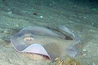 western stingaree, Trygonoptera mucosa, Tasman Sea