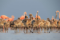 Juvenile American Flamingos (Phoenicopterus ruber) gethered in a creche in a large nesting colony. Rio Lagartos Biosphere Reserve, Mexico. July.