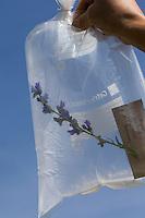 Transport der gesammelten Pflanze in einem Gefrierbeutel. Botanik, Botanisieren, botany, Herbar, herbaria, Herbarien, herbarisieren, herbier, Pflanzenbestimmung, Pflanzenherbar