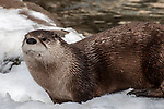 north american river otter playing in snow, lontra canadensis, new bedford, massachusetts