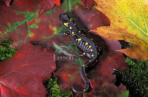 Yellow-spotted Salamander/Spotted Salamander on maple leaves..Nova Scotia, Canada..(Ambystoma maculatum).