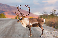 Bull walks across the gravel, Denali park road, Denali National Park.