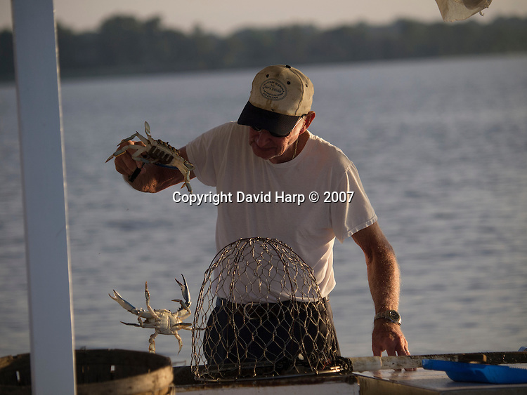 With crab pots prohibirted in the river, trotlines are the way crabs are harvested in the river.   Aboard his Chesapeake deadrise, Bill James layes his baited lines along the river's channel edges between Cambridge and Secretary, often working with the Hyatt Chesapeake Resort looming in the background.   Recent years have been among the worst on record for crabbers.