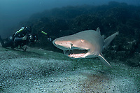 sand tiger shark, grey nurse shark, spotted ragged-tooth shark, Carcharias taurus, this species is endangered in Australia due to fishing pressures and this one appears to have a broken jaw, Nine Mile Reef, Tweed Heads, New South Wales, Australia, South Pacific Ocean