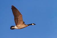 Canada Goose in flight with wings aloft against blue sky