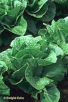 HS21-690x  Lettuce - Parris Island variety - Cos