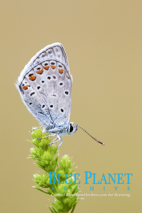 Common Blue (Polyommatus icarus), adult, resting on plant in early morning, Bulgaria, Europe
