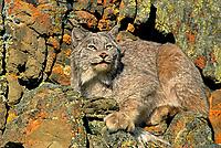 Mammals: wild felines of the world