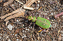 Green Tiger Beetle {Cicindela campestris} on sandy ground. Peak District National Park, Derbyshire, UK. May.