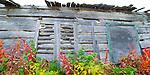 Fall colours against an old log cabin, Dettah NWT.