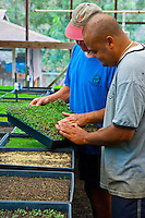 Local farmers at an Upcountry Maui farm inspect fresh, organic microgreens that are heading to Maui's top restaurants.