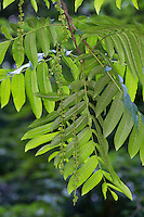 Kaukasische Flügelnuss, Kaukasische Flügelnuß, Pterocarya fraxinifolia, Caucasian wingnut, Caucasian walnut, Ptérocaryer du Caucase