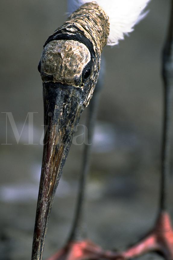 Close up of wood stork beak, head. Florida.