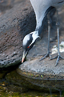 Demoiselle Crane or Lovely Lady crane fishing. Grand Hyatt, Kauai, Hawaii.