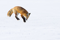 """Red foxes leap high into the air while """"mousing.""""  This was only a half-hearted leap, as this female did not achieve major air and try to bury herself in the snow.  Nonetheless, it was great to photograph the act in a clean setting with no distractions."""
