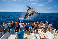 A group of tourists on a whale watching boat out of Lahaina, Maui, get a close look at a breaching humpback whale, Megaptera novaeangliae, Hawaii, USA, Pacific Ocean, digiral composite, MR